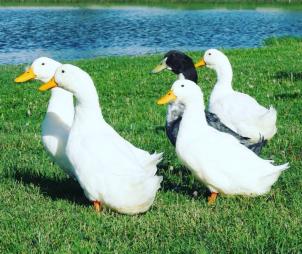 Ducks by Tammie Riley